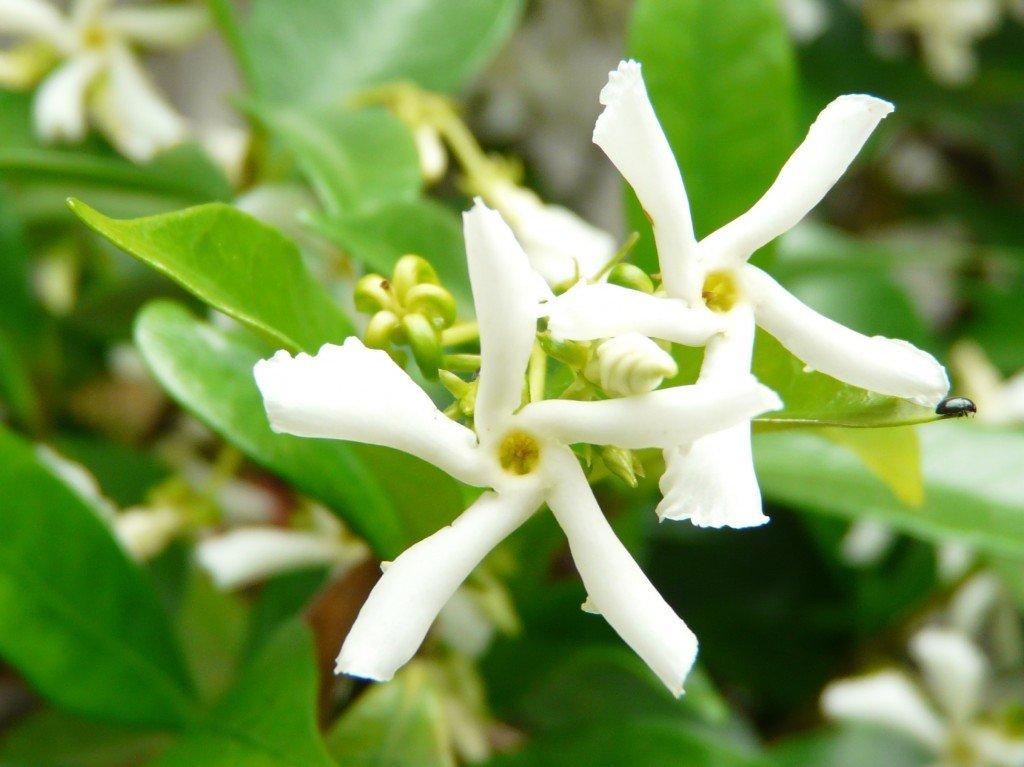 Trachelospermum jasminoides 30052101-1024x767