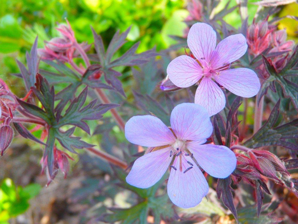 Geranium Dusky Crug dans fleur du jardin geranium-dusky-crug-2-1024x768