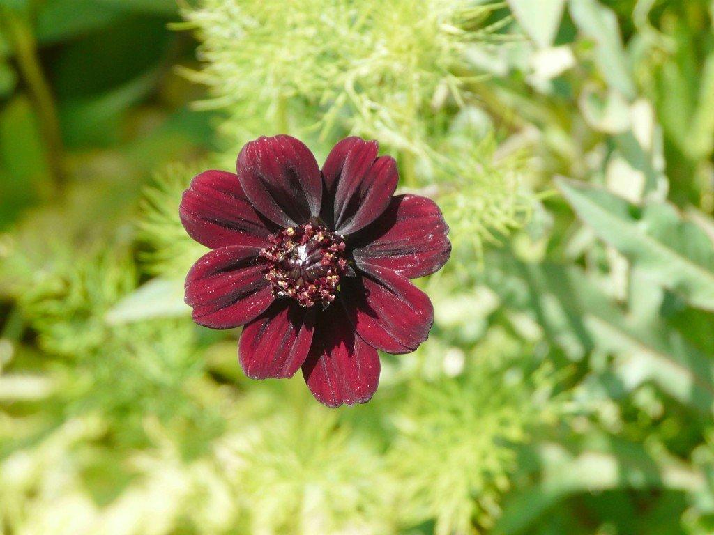 COSMOS ATROSANGUINEUS dans fleur du jardin cosmos-2-1024x768